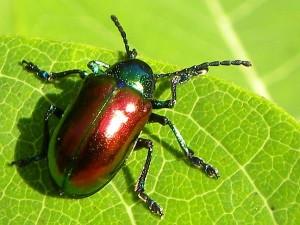 Irridescent Beetle
